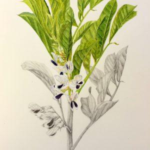 Fava Bean Plant by Linda Valdes, Gouache