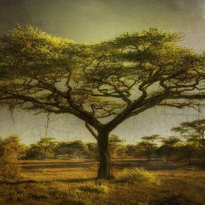 Ndutu Acacia by Michael Singer, Photography, 2020
